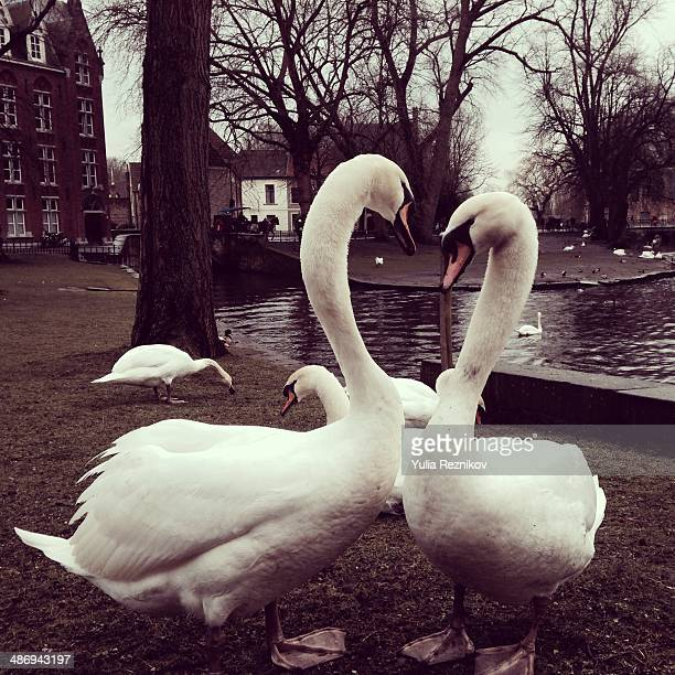 It's love (two swans)
