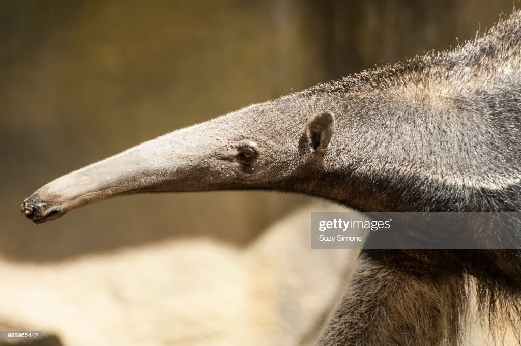 It's Mr. Long Nose : Stock Photo