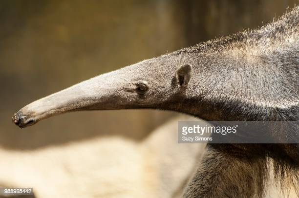 it's mr. long nose - giant anteater stock pictures, royalty-free photos & images