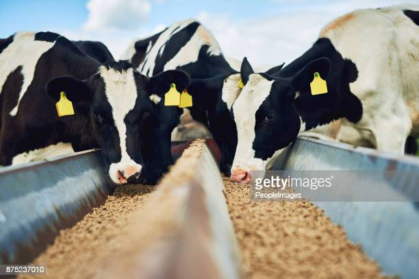 it's only the best for these cows - herbivorous stock pictures, royalty-free photos & images