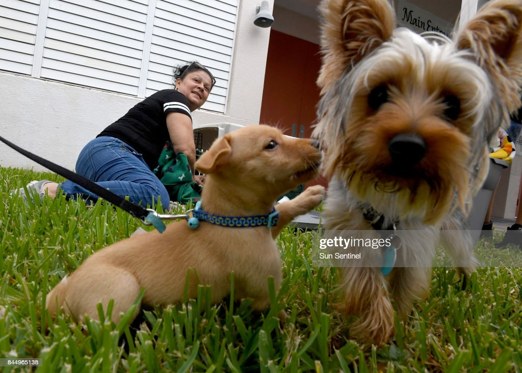 Ivelisse Soto prepares carying crates for her dogs, Tinzy and Looney, outside Lakeside Elementary School hurricane shelter, which allows pets, in Pembroke Pines, Fla., as powerful Hurricane Irma heads toward Florida on Saturday, Sept. 9, 2017.