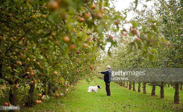 Ivor Dunkerton of the Dunkerton Cider Company looks at some of the latest crop of apples in his orchard near Pembridge England on October 17 2011...