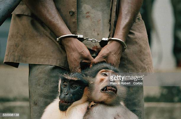 Ivorian forest wardens arrest a poacher who killed two macaques Tai National Park The carcasses of the macaques were later used for research of the...