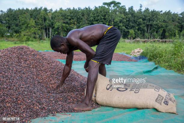 Ivory Coast Cocoa drying and bagging