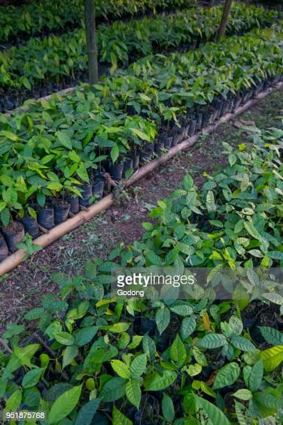Ivory Coast Cocoa tree nursery