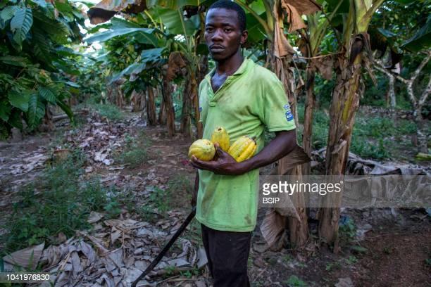 Ivory Coast Farmer harvesting cocoa in his plantation.