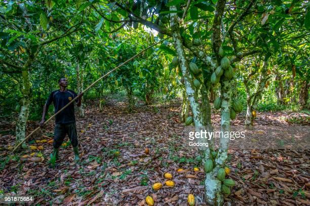 Ivory Coast Farmer harvesting cocoa in his plantation