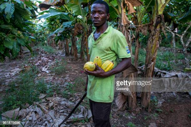 Ivory Coast Farmer harvesting cocoa in his plantation