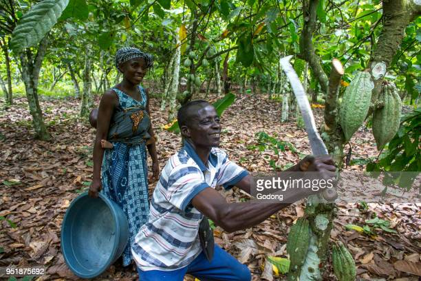 Ivory Coast Farmer harvesting cocoa with his wife