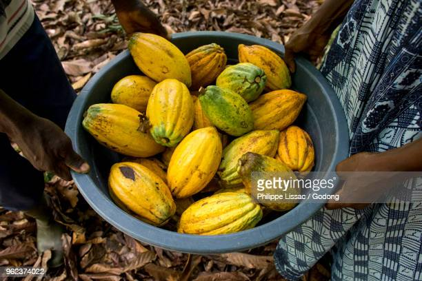 Ivory Coast. Farmer harvesting cocoa with his wife.