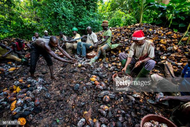Ivory Coast Farmers breaking up harvested cocoa pods