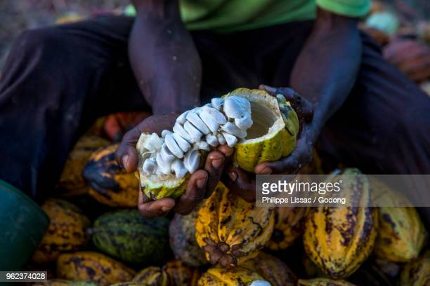 ivory coast. farmers breaking up harvested cocoa pods. - côte d'ivoire stock pictures, royalty-free photos & images