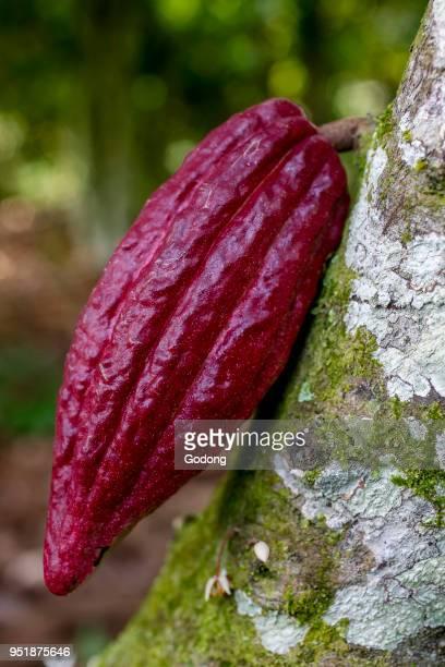 Ivory Coast New cocoa pod on tree