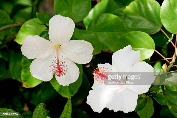 Ivory colored hibiscus in bloom