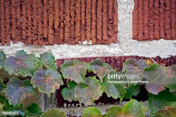 ivy climbing a brick wall - madison ivy photos et images de collection