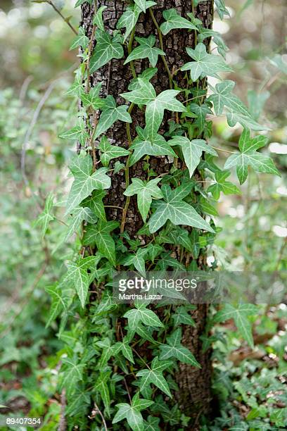 ivy climbing tree - lorgues stock photos and pictures