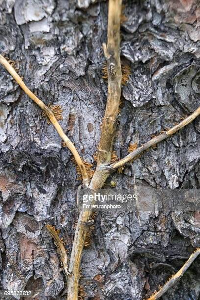 ivy climbing up a pine tree. - emreturanphoto fotografías e imágenes de stock