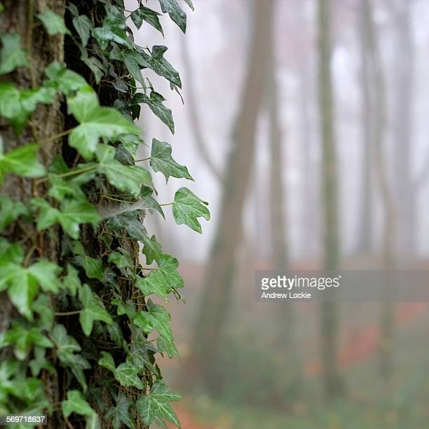 Ivy clinging to a tree trunk