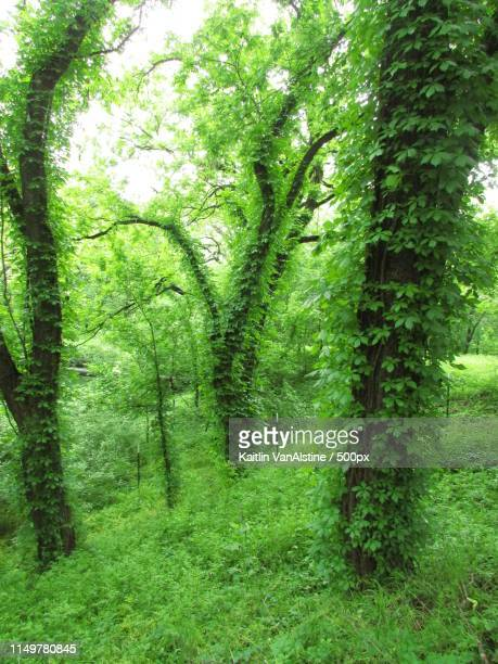 ivy covered trees - san saba polo team stock pictures, royalty-free photos & images