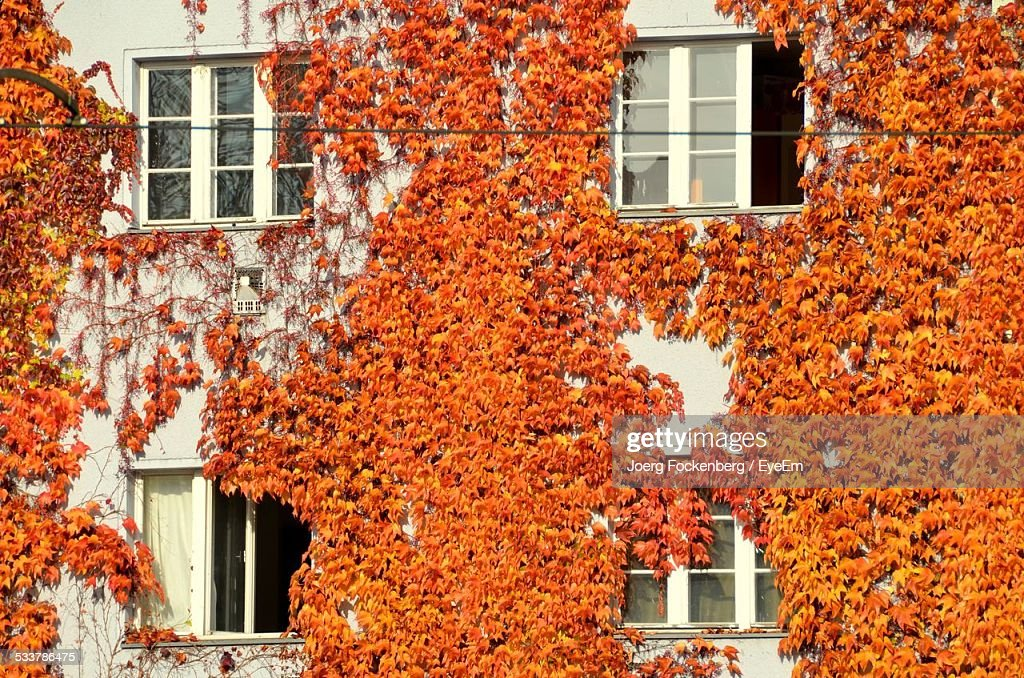 Ivy Covering House : Foto stock