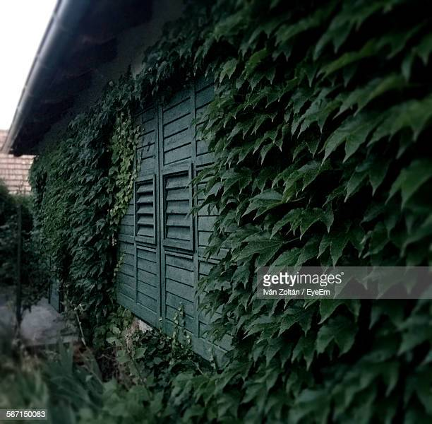 Ivy Covering House Wall