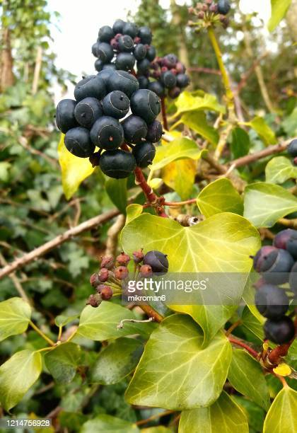 ivy fruits - evergreen plant stock pictures, royalty-free photos & images