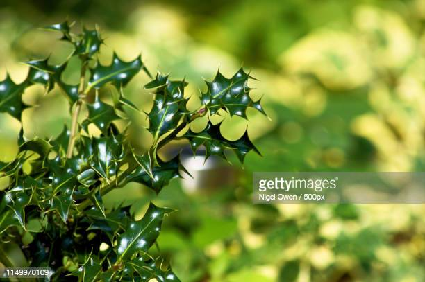 ivy green - nigel owen stock pictures, royalty-free photos & images