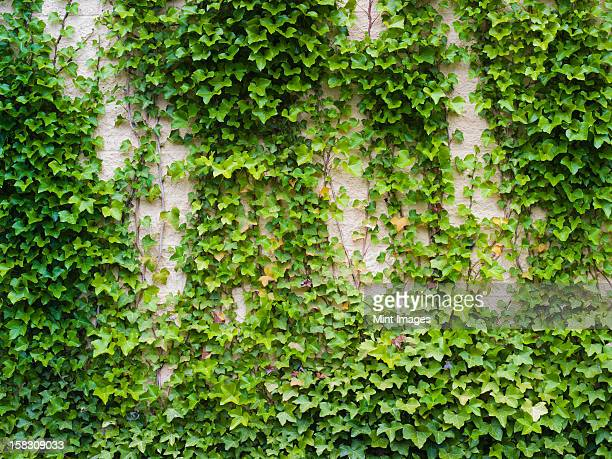 Ivy growing, a lush plant on a brick wall