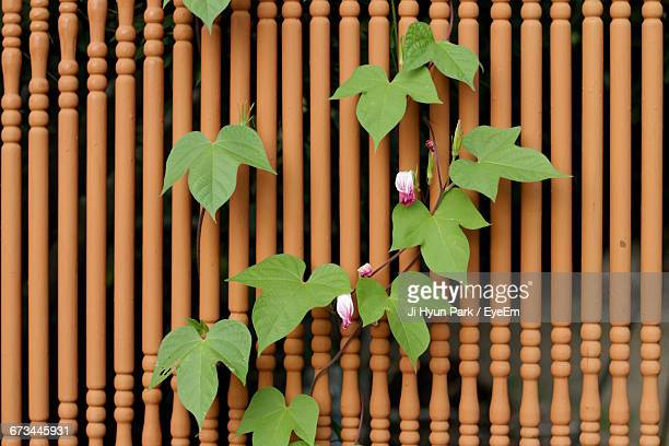 Ivy Growing By Wooden Fence