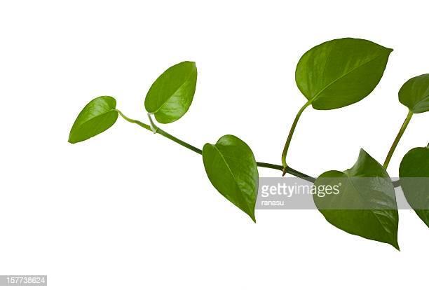 ivy développement naturel