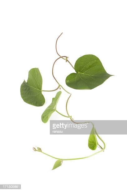 ivy wächst natürlichen