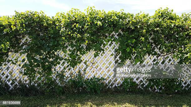 Ivy Growing On Fence At Field