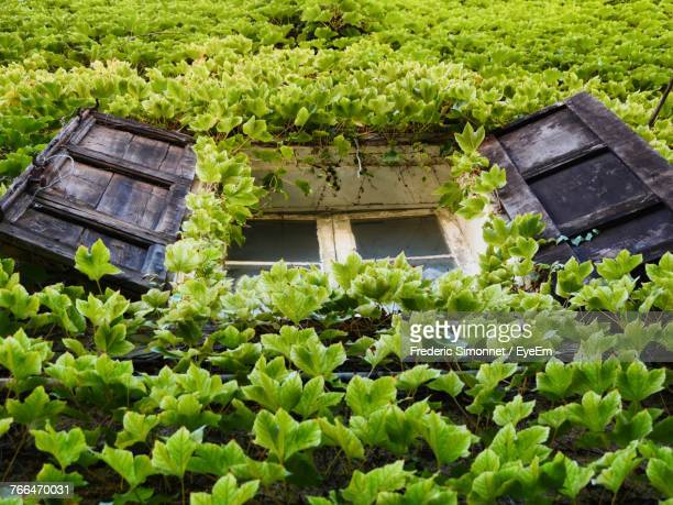 ivy growing on house - antibes stock photos and pictures