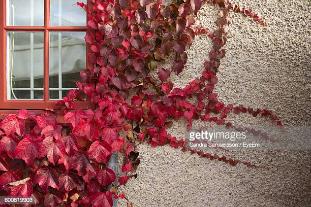 Ivy Growing On House Wall During Autumn