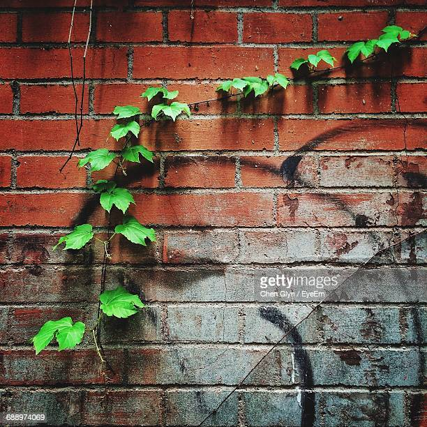Ivy Growing On Old Brick Wall