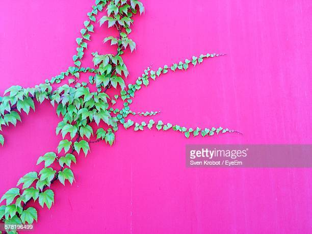 Ivy Growing On Pink Wall