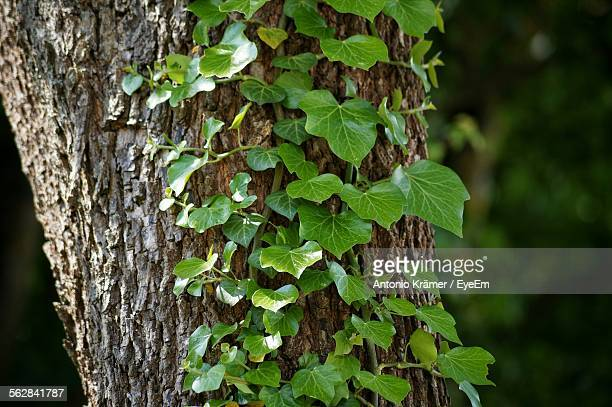 Ivy Growing On Tree In Forest