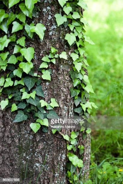 Ivy Growing on Tree Trunk