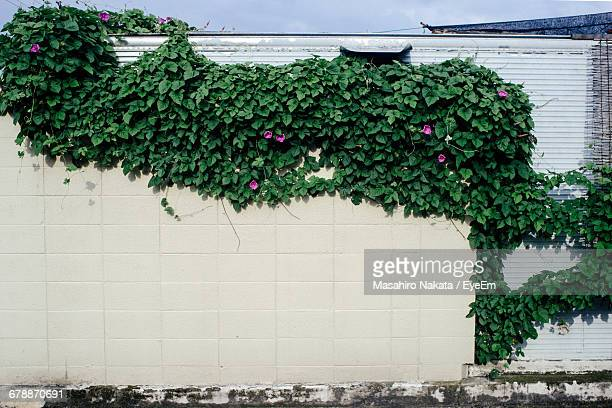 Ivy Growing On Wall During Sunny Day