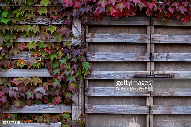 Ivy Growing On Wooden House Wall