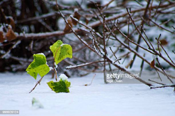 ivy in snow - nigel owen stock pictures, royalty-free photos & images