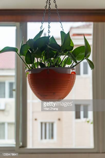 ivy indoor plant vine in a hanging pot - changzhou stock pictures, royalty-free photos & images