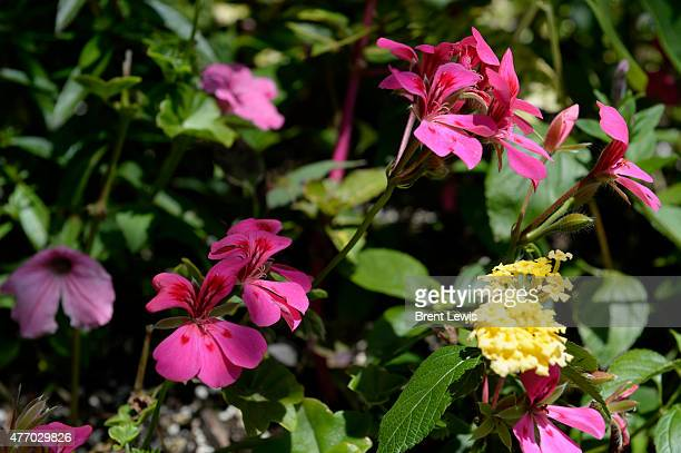 Ivy leaf geraniums on Saturday June 13 2015 at Rob Proctor's home on the 3000 block of West 46th Avenue in Denver Colorado Proctor has hundreds of...