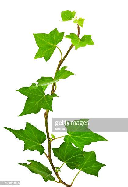 ivy leaves - vine plant stock photos and pictures