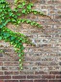 boston ivy old brick wall iphone
