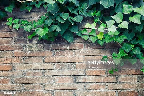 Ivy auf die old brick wall