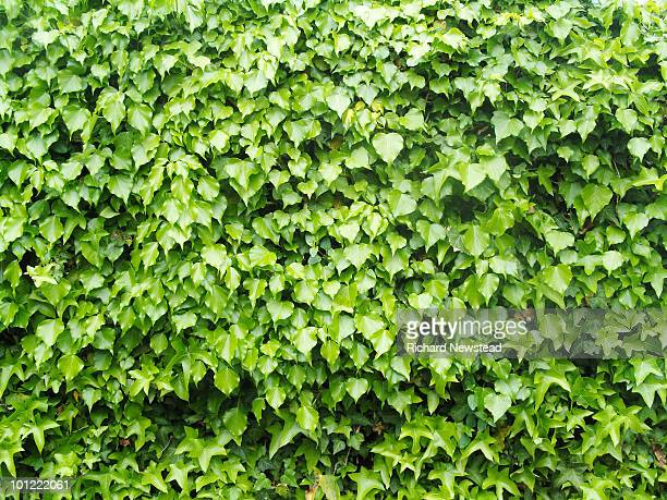 Ivy or Hedera
