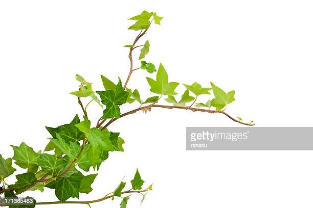 ivy - vine plant stock photos and pictures