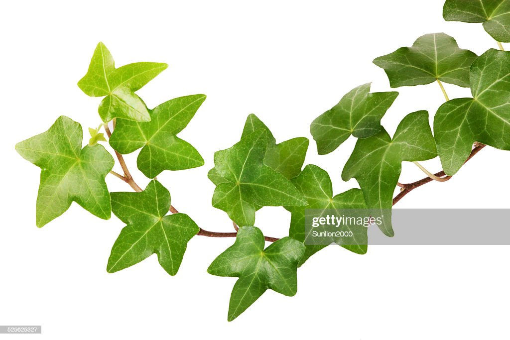 free ivy images  pictures  and royalty free stock photos clipart of cameras for print clipart of camera operator