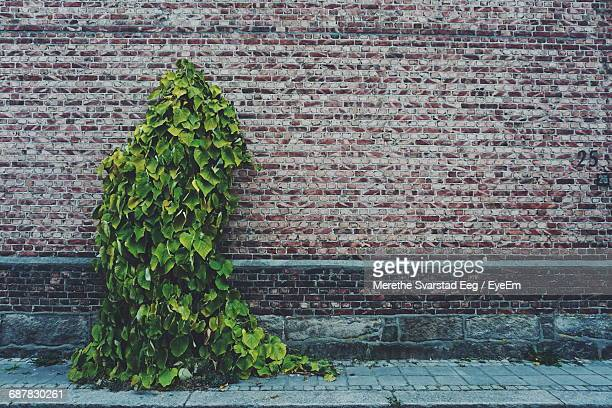 Ivy Plant Growing Against Brick Wall